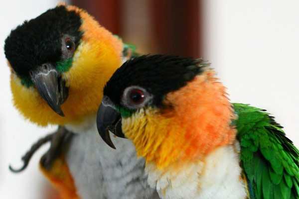 фото парочки черноголовых попугаев