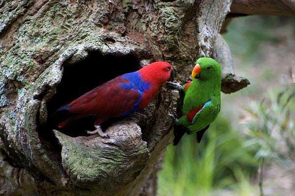 гнездо благородных попугаев в дупле дерева