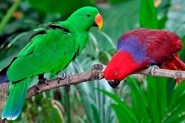 парочка попугаев эклектус
