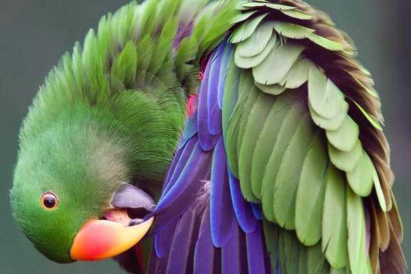 самец благородный попугай чистит перья