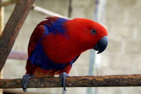 Самка благородного попугая