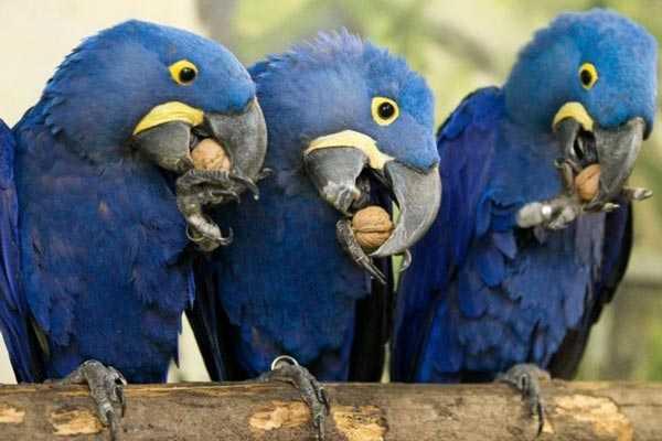 гиацинтовые ара едят орехи