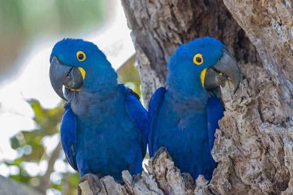 гнездо синих попугаев
