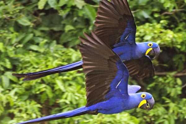 пара гиацинтовых попугаев в полете