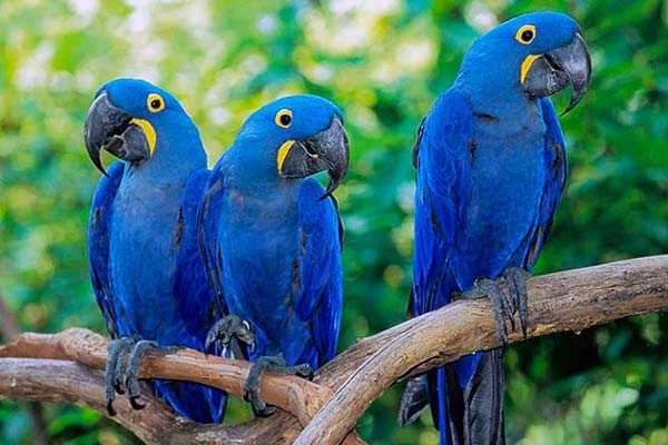 семья гиацинтовых ара