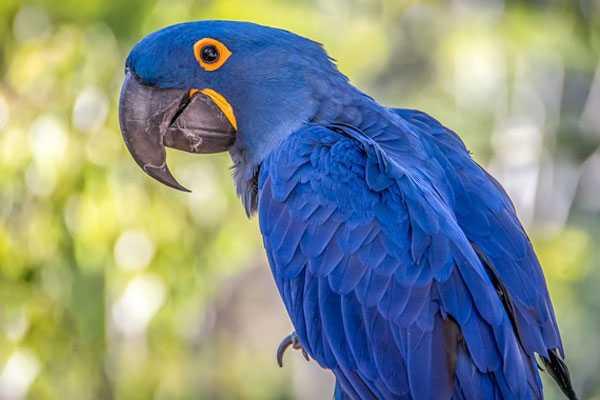 самый большой попугай гиацинтовый ара