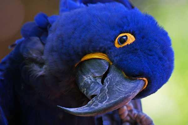 гиацинтовый попугай очень доверчивый и ласковый