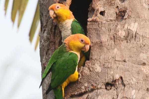 гнездо рыжеголовых каиков
