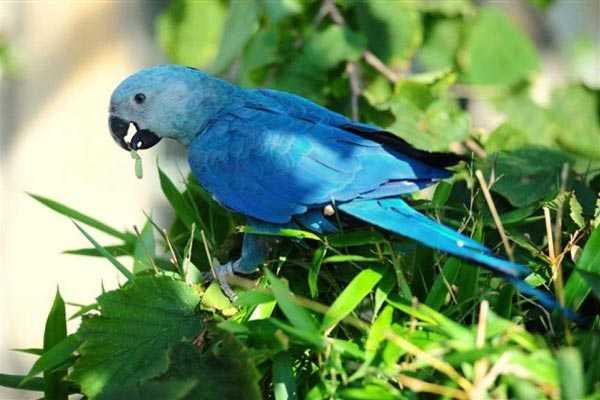 маленький голубой ара