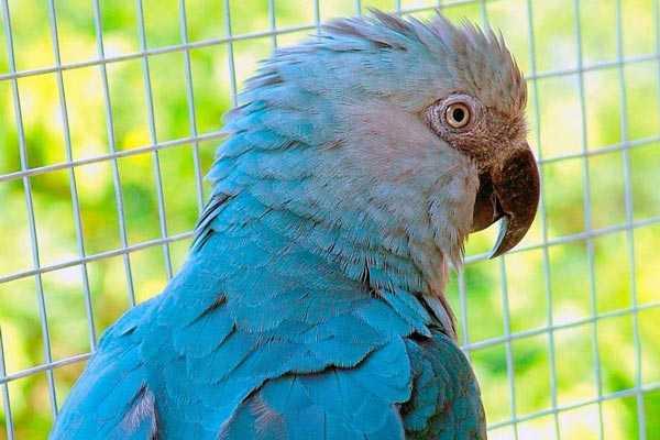 малый голубой ара в вольере
