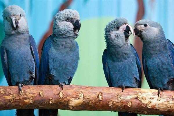 Голубые попугаи Спикса