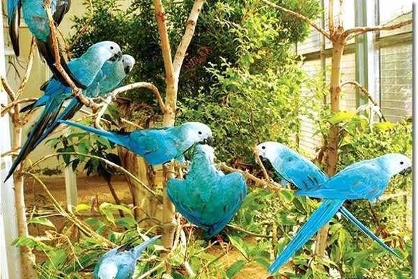 в вольере много голубых ара Спикса