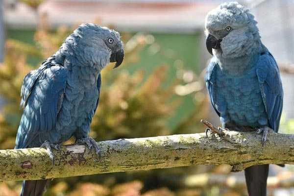 парочка голубых ар