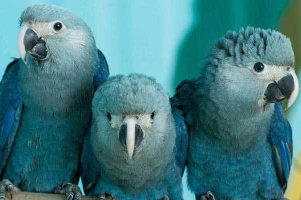 три птенца голубых попугаев