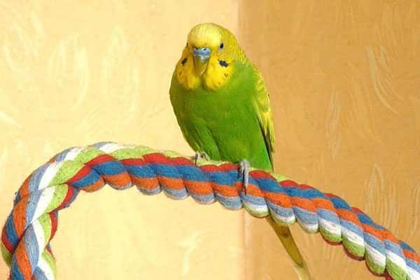 волнистый попугай на хлопковой жерди