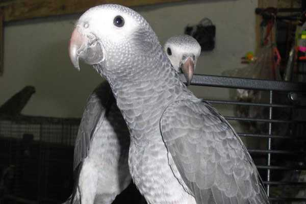 Птенцы бурохвостых попугаев