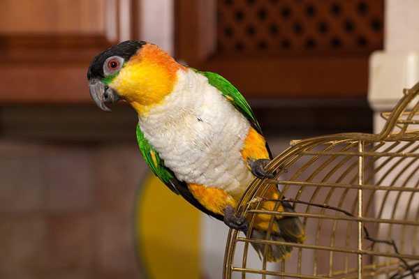 попугай каик сидит на клетке