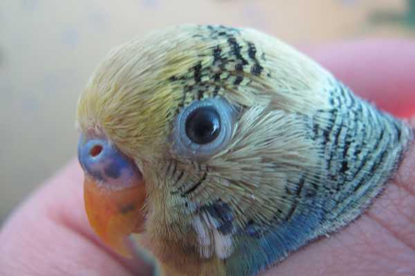 большой глаз волнистого попугая