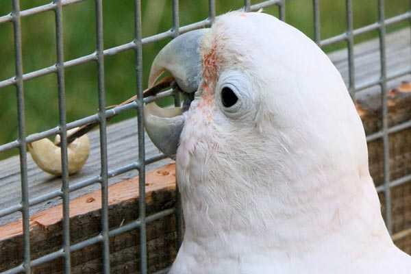 фото какаду гоффина в вольере