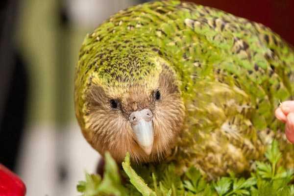 совиный попугай какапо