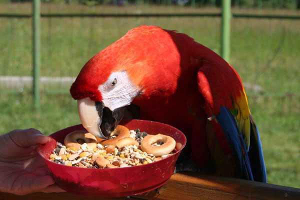 красный попугай ест корм