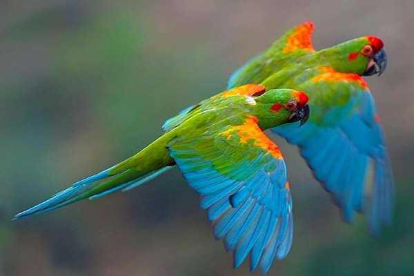 Красноухие птицы в полете