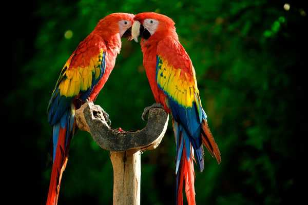 пара красных ар на ветке дерева