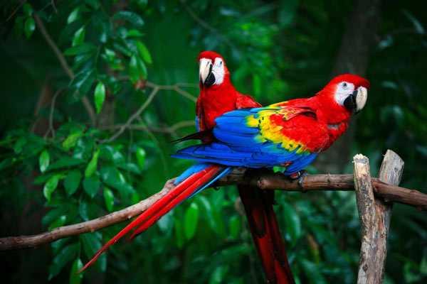 Красный попугай макао
