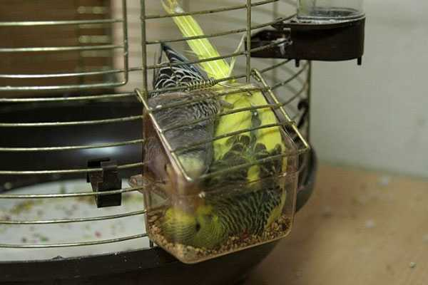попугаи застряли в кормушке