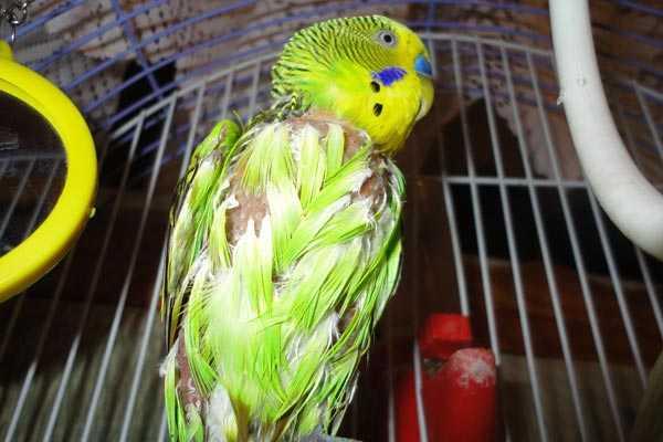 волнистый попугай с выщипанными перьями