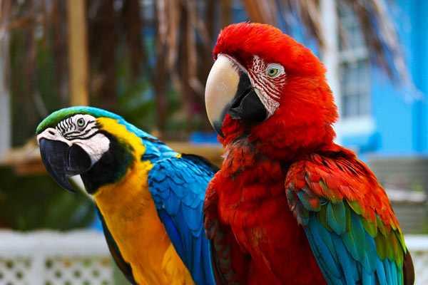 фото пары попугаев ара