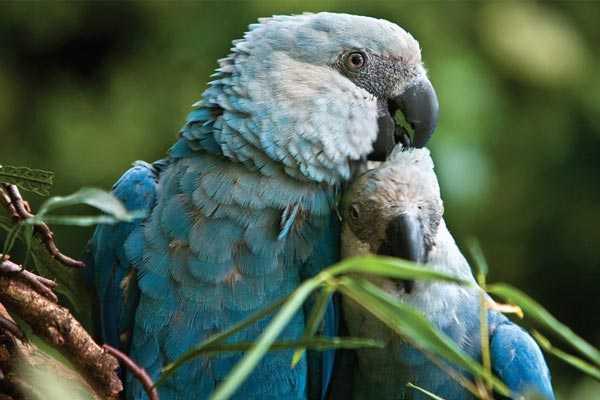 самец и самка голубых попугаев в брачный период