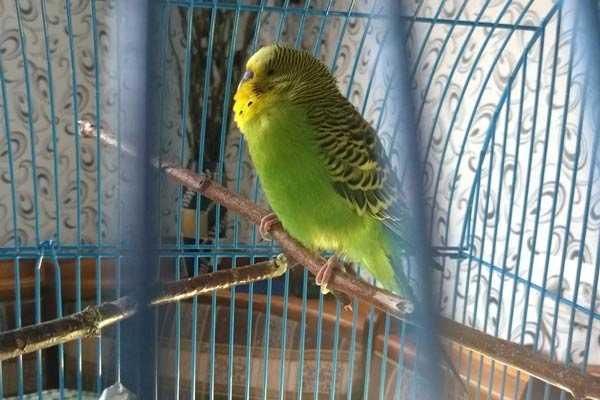 пена у волнистого попугая