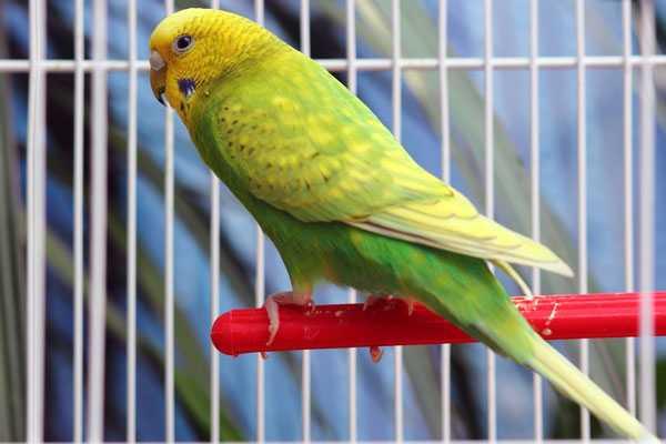 волнистый попугай на пластиковой жердочке