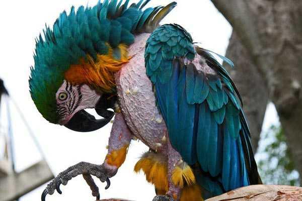 у попугая ара выпадают все перья на животе и грудке