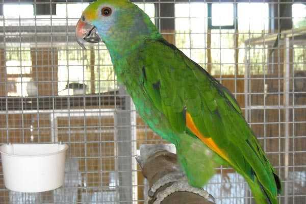 Открытая поилка для попугая амазон