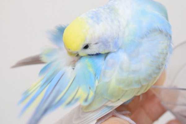 птица вычищает перышки