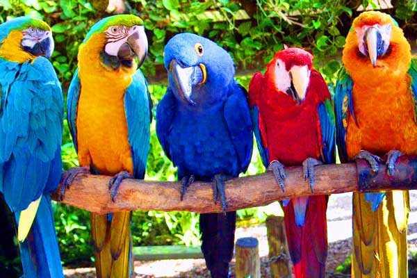 разновидности попугаев ара
