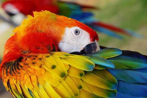 фото попугая ара с яркими перьями