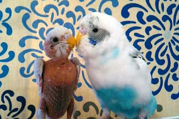 попугай без перьев
