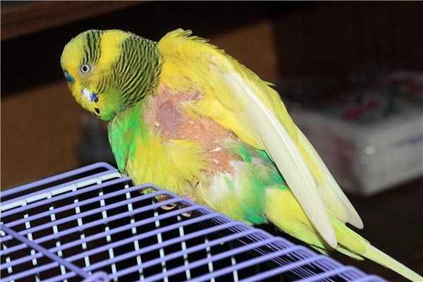попугай сидит на клетке и чешется