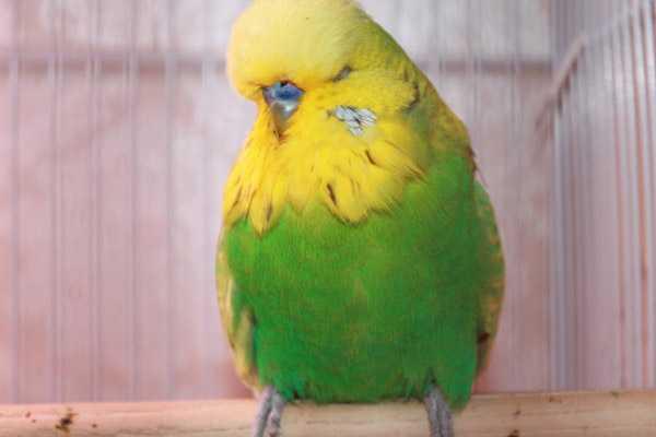 попугай сидит на жердочке нахохленный и дрожит