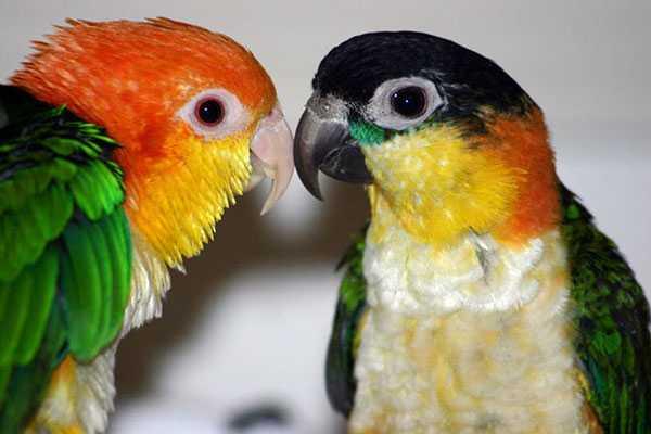 попугаи каик: черноголовый и рыжеголовый