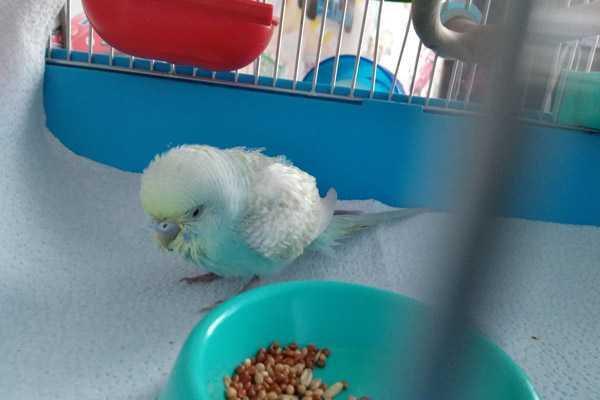 волнистый попугай сидит нахохлившись на дне клетки