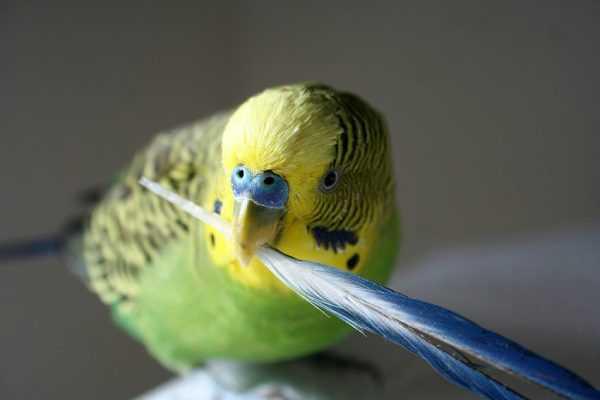волнистый попугай держит перо