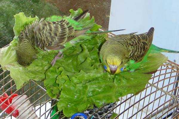 попугайчики купаются в зелени салата
