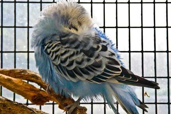 попугай прячет клюв под крылом, чтобы сохранить тепло