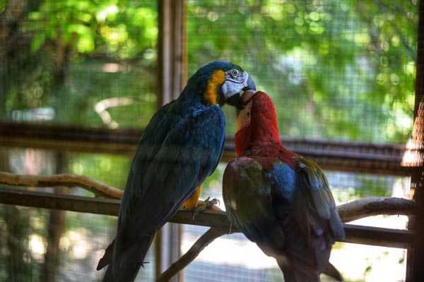 разведение попугаев макао