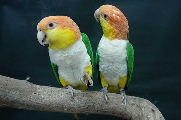 Рыжеголовые белобрюхие каики