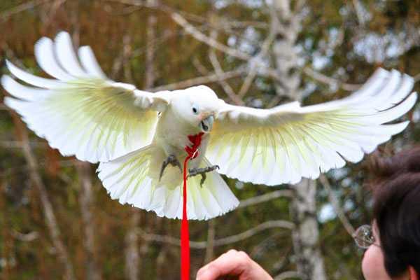 какаду летает в шлейке